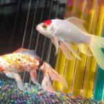 金魚の便秘ならではの症状!見極めるための方法について解説!