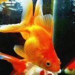 金魚のおもちゃは100均で買える?人気のおすすめ5品を紹介!