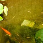 金魚のフナとの違いはどこなの?2種類の見分け方について徹底解説!