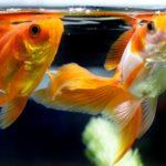 金魚が孵化してからの育て方!注意すべき5つのことは?