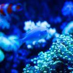 人気の青い淡水の熱帯魚を紹介!おすすめの種類一覧!