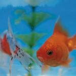 金魚が藻を食べるって本当?魚たちに影響はないのかについて解説!