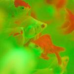 金魚が産卵する年齢は?魚たちの妊娠する歳と推定の仕方について解説