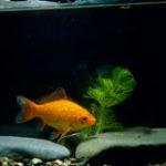 金魚の産卵の条件とは?赤ちゃんが生まれてくるための環境について