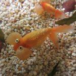 金魚の冬眠の水温はどれくらい?知っておきたい温度の知識について
