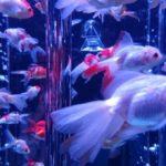 金魚の飼い方で外の場合の酸素は?ブクブクがなくても大丈夫?