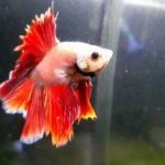熱帯魚ベタの種類一覧!飼い方で気をつけたい3つの注意点