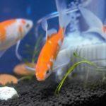 金魚の寄生虫の種類は?魚たちにどのような影響を与えるか徹底解説!