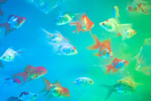 金魚の白点病の初期の状態は?早期発見に役立つ病気の知識に ...
