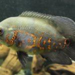 熱帯魚のオスカーと混泳できる魚&注意したい3つのポイント!