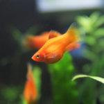 熱帯魚の飼いやすいランキング5選!初心者が簡単に飼育できる種類は?