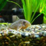 淡水熱帯魚のランキングBEST10!オススメの種類一覧!