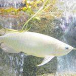 飼いやすい大型の熱帯魚ランキング厳選5選!丈夫で強い種類って?