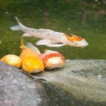 鯉の稚魚の飼育!知っておくべき5つのコツをご紹介!