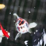 鯉の餌!おすすめランキングTOP10をご紹介!選ぶポイントは?