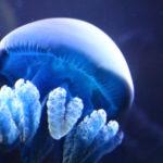クラゲの飼育を簡単に!初心者の難易度を下げる方法まとめ