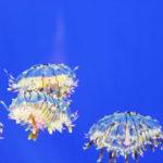 クラゲの種類!日本にいる綺麗で危険な7種【完全版】