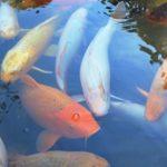 鯉を水槽で飼育する方法!基本の育て方〜お手入れ方法まで
