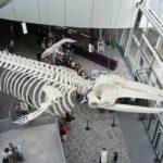 クジラの骨格標本はどこで見られる?人気のおすすめ施設5選